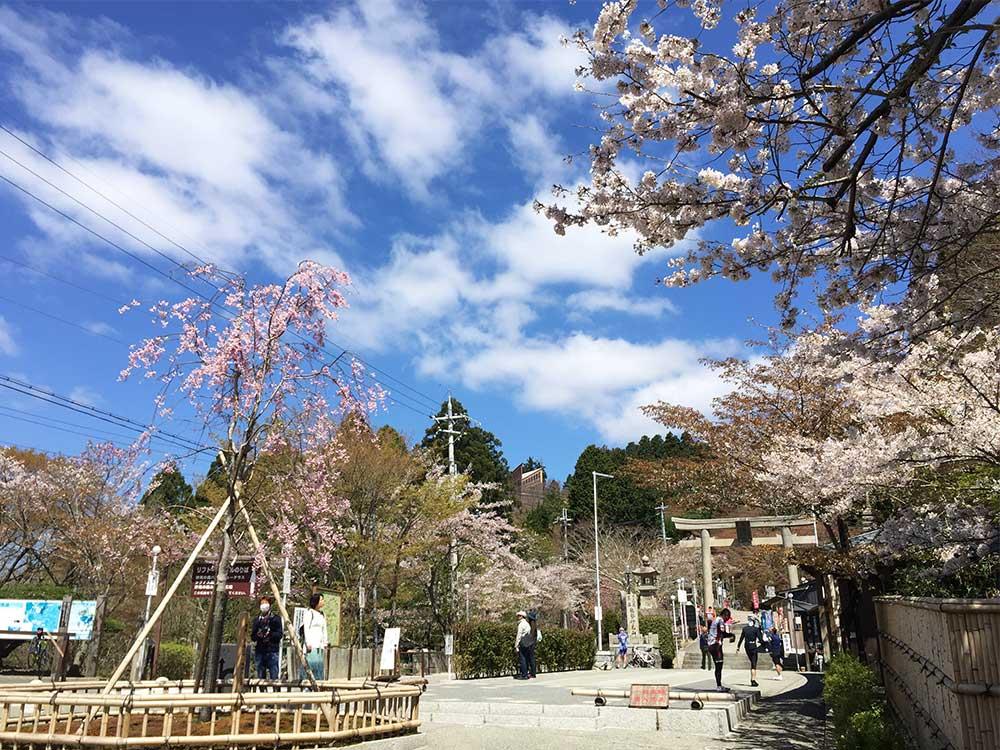 妙見山 桜